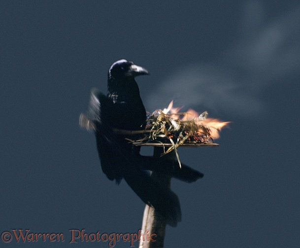 A Tame Rook (Corvus frugilegus) 'anting' with fire