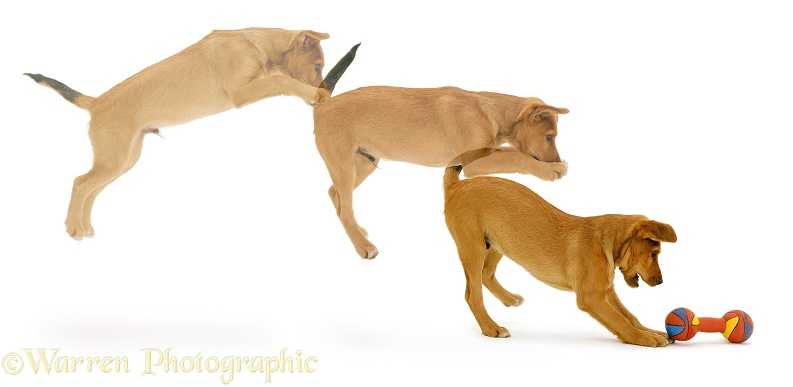Multiple image of Lakeland Terrier x Border Collie pup Joker, 12 weeks old, pouncing on a toy, white background