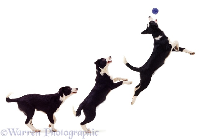 Multiple image of black-and-white Border Collie bitch pup Fly, 12 weeks old, leaping to catch a ball, white background