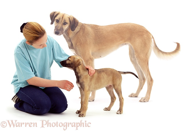 Catherine and Lurcher pup, Tansy, at 8 weeks old, with an image of how big the dog will become when fully grown, white background