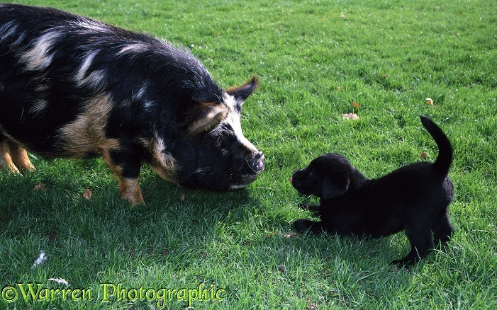 A puppy has fun with a friendly pig
