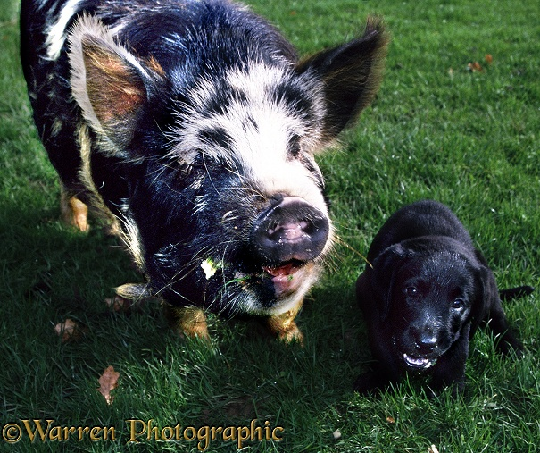 A friendly pig shares its food with a puppy
