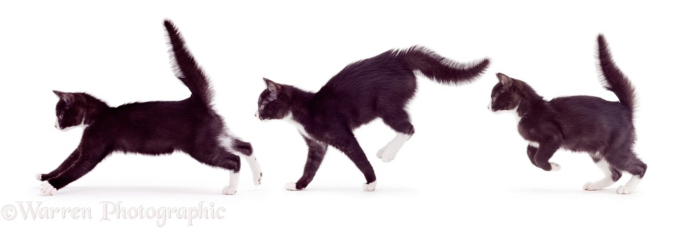 Multiple image of a black-and-white kitten, 14 weeks old, running with fluffed tail, white background
