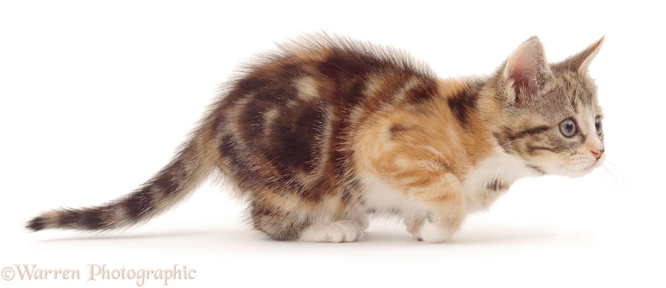Playful 'Bowtie' torbie kitten, 8 weeks old, getting ready to pounce, white background