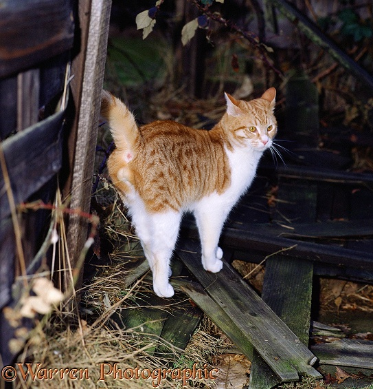 Ginger-and-white male cat, spraying (scent-marking with urine)