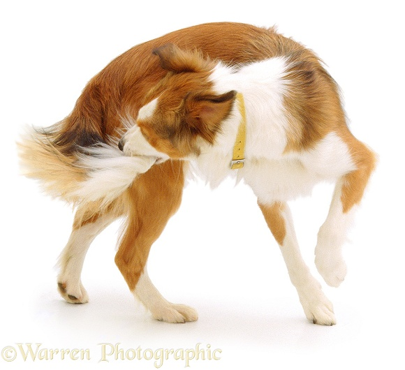 Border Collie, Lark, has spun round and caught her tail, white background