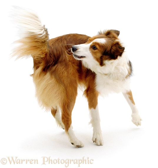 Border Collie, Lark, spinning round to catch her tail, white background