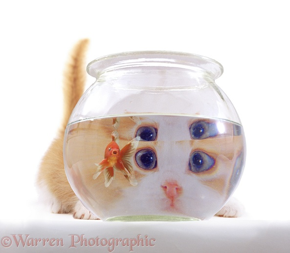A young cat looking at a goldfish in a goldfish bowl, white background