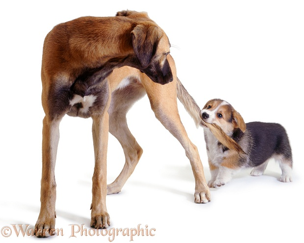 Pembrokeshire Welsh Corgi pup tugging Saluki Lurcher, Tansy's tail, white background