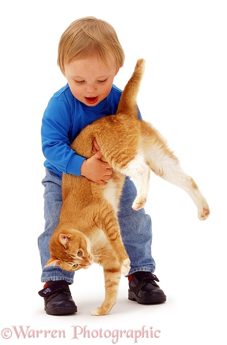 Luke (18 months old), picking up Red Burmese female cat, Sabrina, white background