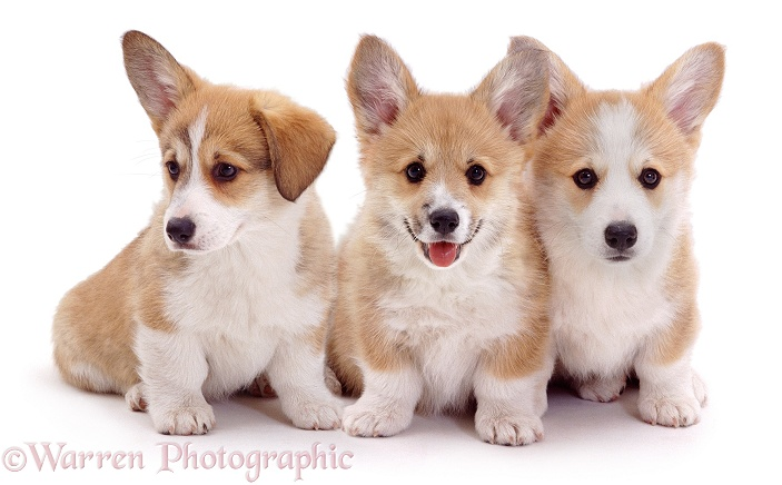 Three Pembrokeshire Welsh Corgi pups. 8 weeks old, white background