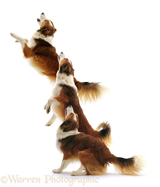 Multiple image of Sable-and-white Border Collie, Lark, jumping, white background