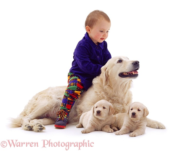 1-year-old baby, 'riding' Golden Retriever bitch, Bonnie, with 6-week-old pups, white background