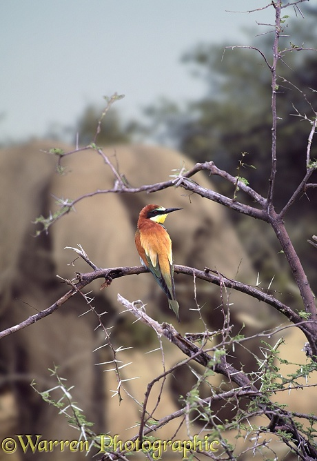 European Bee-eater (Merops apiaster) with elephant.  Europe, Africa