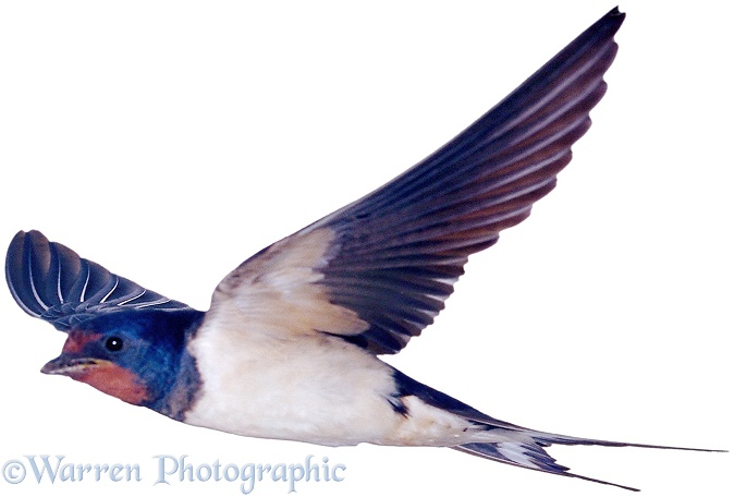 Swallow (Hirundo rustica), white background