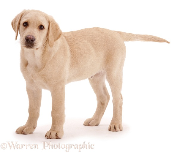WP00755 Yellow Labrador Retriever pup, 12 weeks old.: www.warrenphotographic.co.uk/00755-yellow-labrador