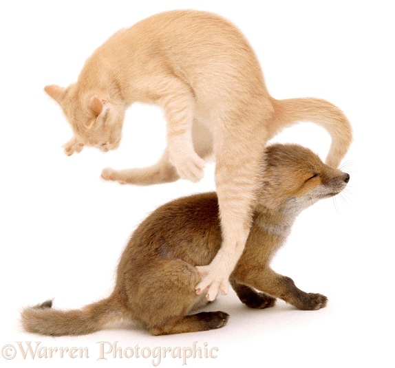 Fox and Kitten playing, 7 weeks old, white background