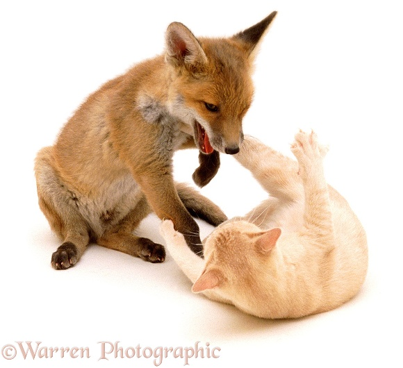 Fox and Kitten playing, 9 weeks old, white background