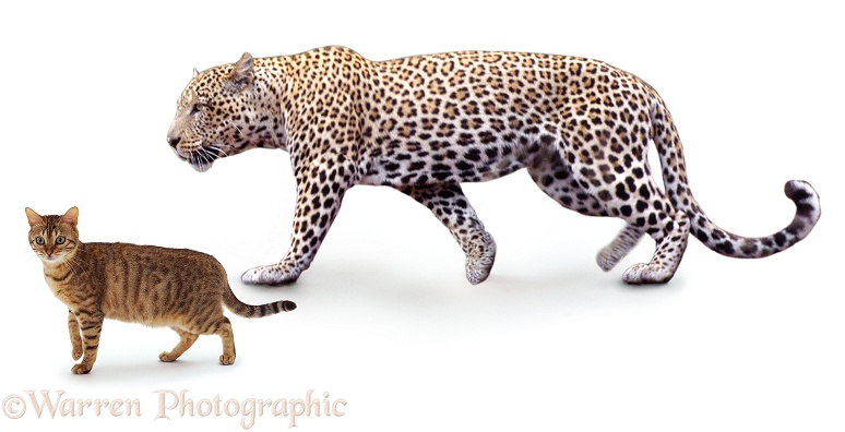 Leopard (Panthera pardus) with brown spotted Bengal cat, white background