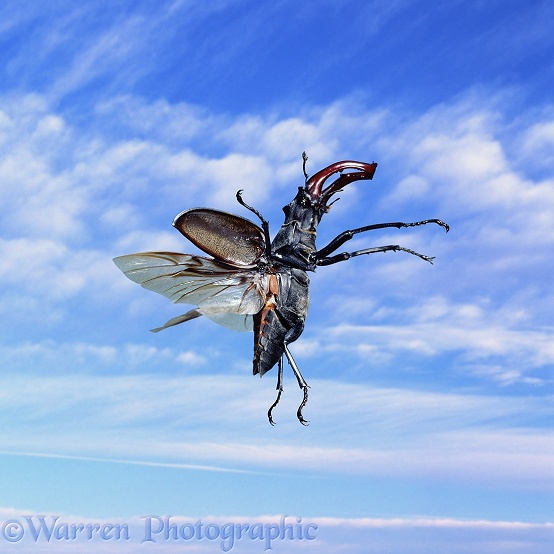 Stag Beetle (Lucanus cervus) male in flight.  Europe