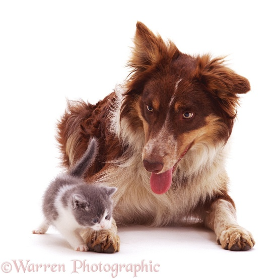 Red tricolour Border Collie, Chester, with a playful kitten, white background