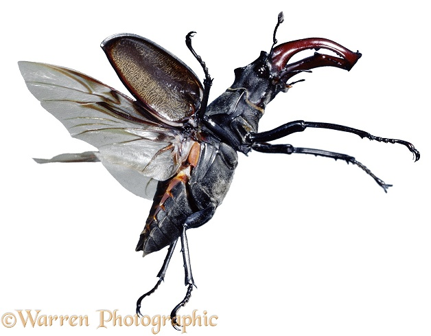 Stag Beetle (Lucanus cervus) male in flight, white background
