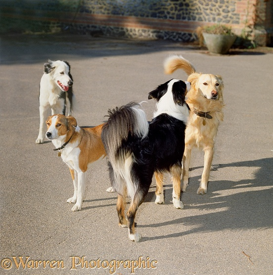 Confrontation between two male dogs (Border Collie, Alfie & Retriever-cross, Solo) in dominant stance. The yellow dog, Solo, looks away & waves his tail slightly to avoid an actual fight