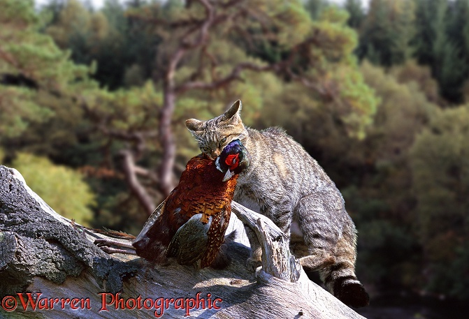 Scottish Wild Cat (Felis silvestris grampia) with a captured pheasant.  Britain