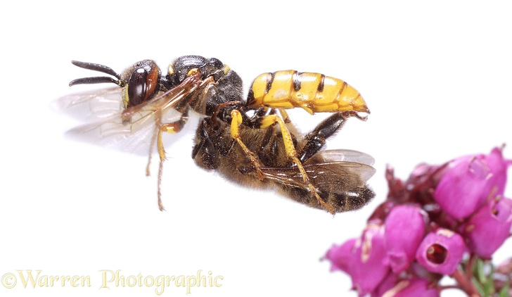 Bee-killer Wasp (Philanthus triangulum) carrying Honey Bee prey.  Europe, white background