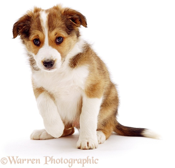 Sable Border Collie puppy, Spex, sitting. 9 weeks old, white background