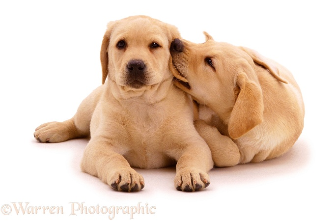 Two Yellow Labrador Retriever pups. 9 weeks old, white background