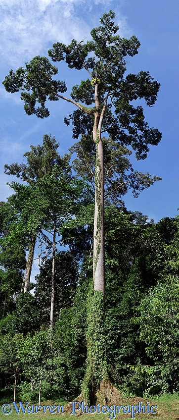 Rainforest tree.  Borneo