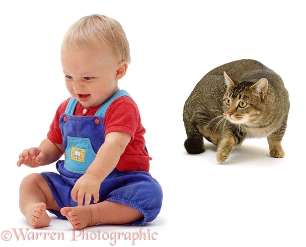 Baby Luke, 11 months old, sitting and giggling, unaware that Agouti tabby male cat, Mowgli is stalking him, white background