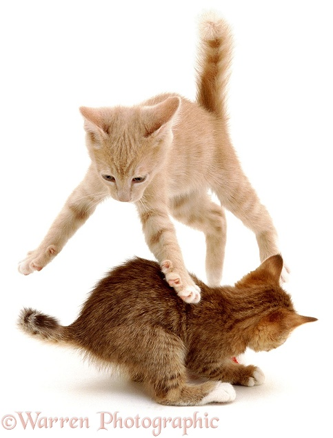 Siamese-cross kittens leaping and playing, white background