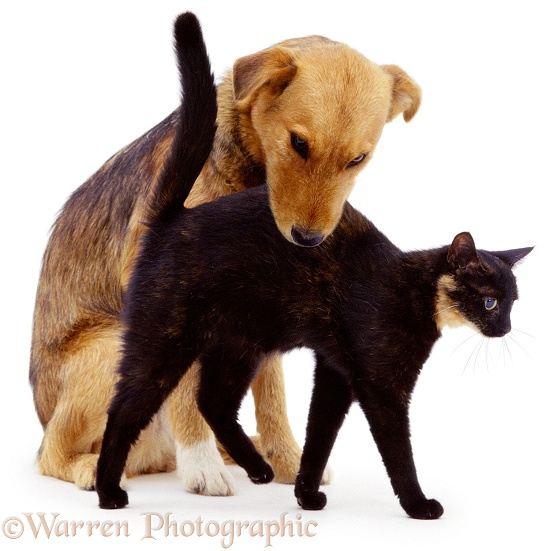 Tortoiseshell cat, Blackie, rubbing against her newly-introduced friend, Bess (Lakeland Terrier x Border Collie), white background