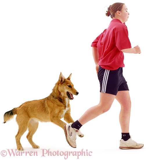 Lakeland Terrier x Border Collie Bess chasing Si�n while she's out running, white background