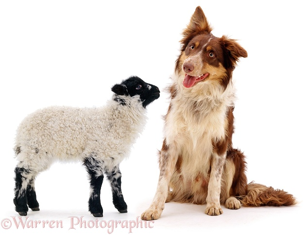 Red tricolour Border Collie Chester, with a lamb, white background