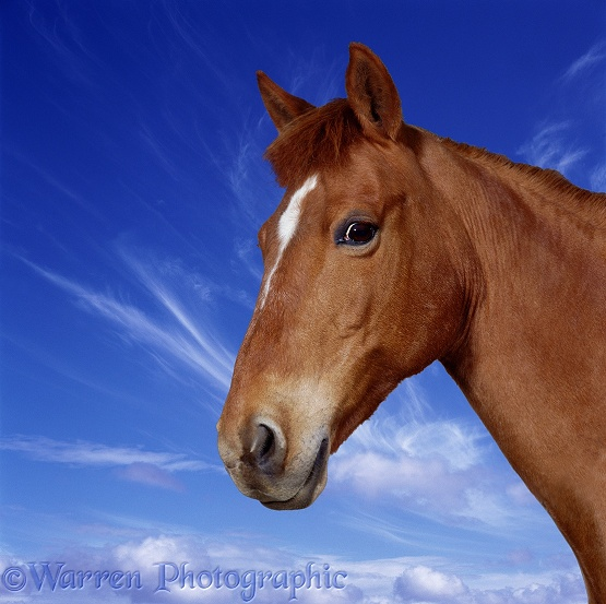 Portrait of chestnut pony