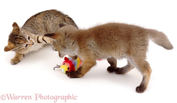 Fox and kitten disputing possession of a toy, white background