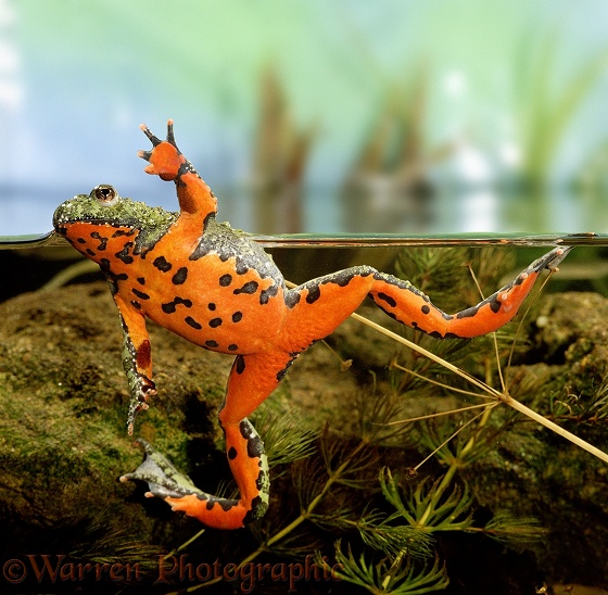 Oriental Fire-bellied Toad (Bombina orientalis) male, showing orange and black underparts