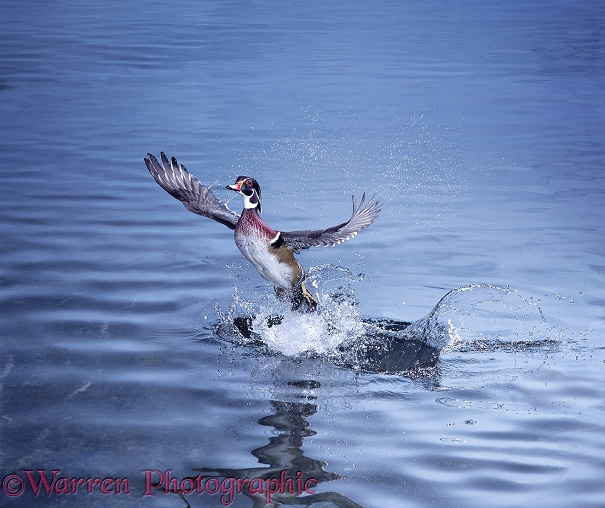 Wood Duck (Aix sponsa) taking off from from water
