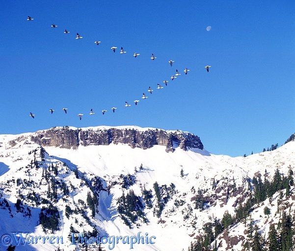 Snow Geese (Anser caerulescens) migrating past mountains in North America