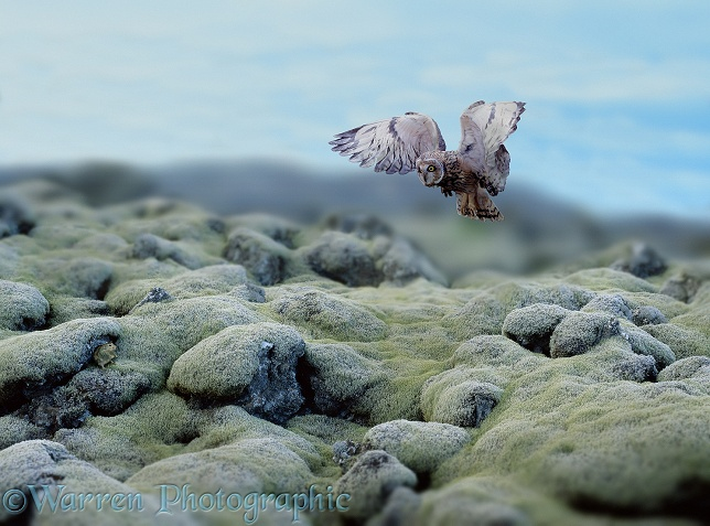 Short-eared Owl in Iceland