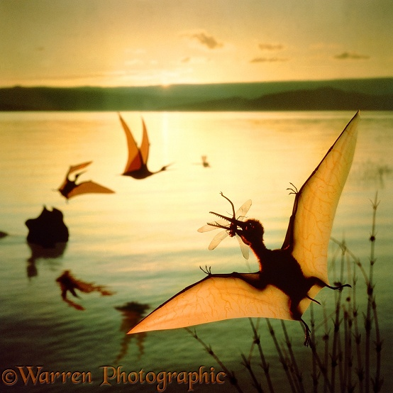 "Small Pterosaurs (Pterodactylus). Wing span 25cm (10"") catching dragonflies over a lake at dawn.  Upper Jurassic, Germany"