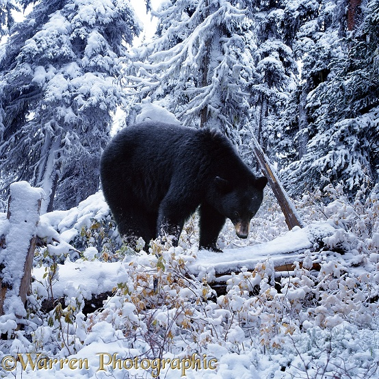 A Black Bear (Ursus americanus) ponders over the coming of the first snow and the need to hibernate.  North America