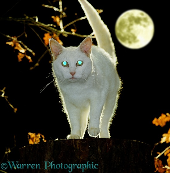 Eyes of white cat, Bella (Russian Blue-cross female) at night, showing blue reflection from the tapetum