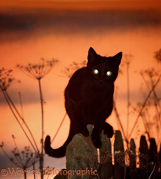Black cat, silhouetted against sunset sky, showing brilliant reflection from tapetum