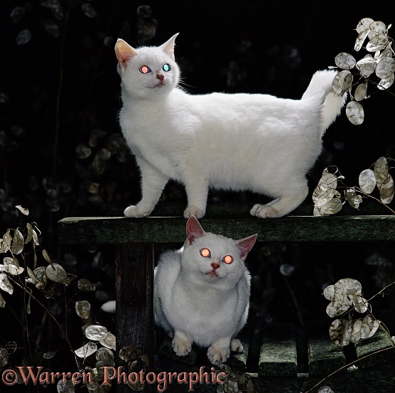White kittens at night, showing reflection from the tapetum: odd-eyed kitten showing one red, one blue reflection, blue-eyed kitten showing red reflections