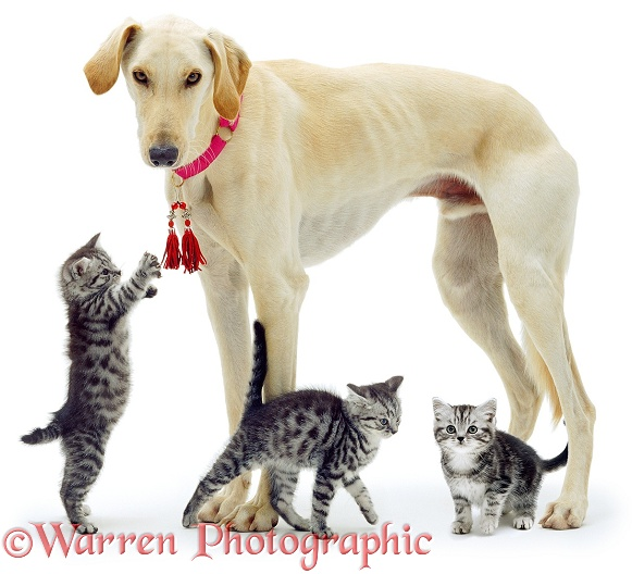 Saluki Lurcher Swift and three silver tabby kittens, white background