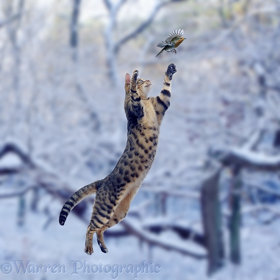 Bengal female cat, Oosha, making a grasping leap at a robin